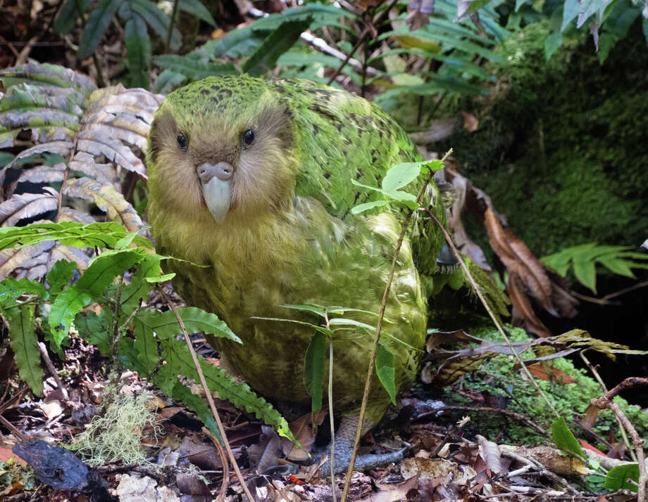 The kakapo, the world's largest parrot and its only flightless parrot, is found just in New Zealand. And it is an endangered species. Because of his rare genetics, Sinbad, shown here, is described as one of the most important individuals in the current population. Photo: Andrew Digby / Andrew Digby