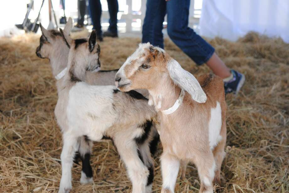 The Goat Festival returned to the Ferry Building in San Francisco this April. Photo: Courtesy Of CUESA