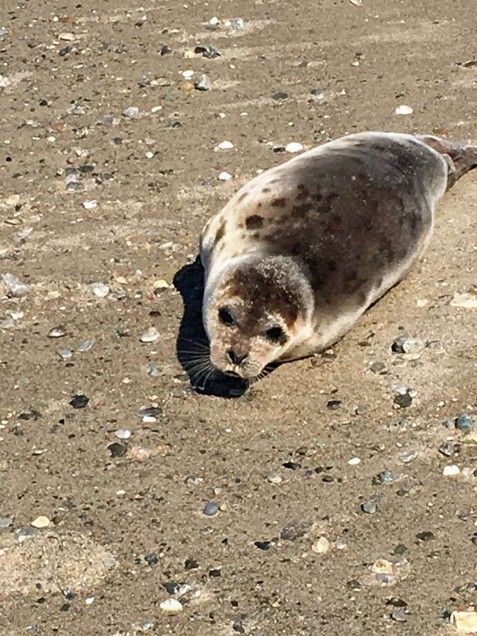 A seal was spotted on Sasco Beach in Fairfield on March 27, 2019. Photo: Contributed Photo /