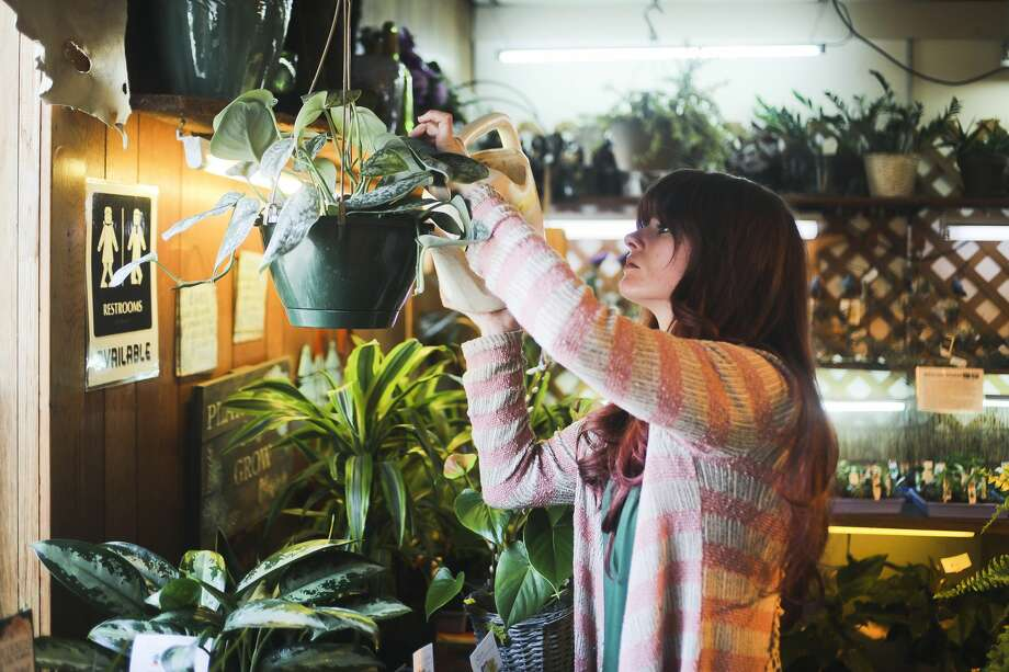 Horticultural Technician Kelsey Cody waters plants inside Randi's Green Thumb Plants & Flowers on Wednesday, March 27, 2019 in Midland. The business is expecting deliveries of spring plants and flowers this Saturday, and weekly afterwards. (Katy Kildee/kkildee@mdn.net) Photo: (Katy Kildee/kkildee@mdn.net)