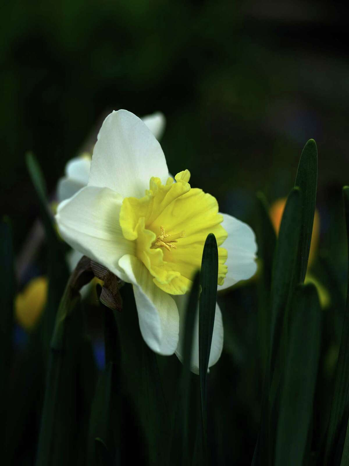 Flowering Narcissus, or what is commonly known as daffodils. Peter Bowden considers them the