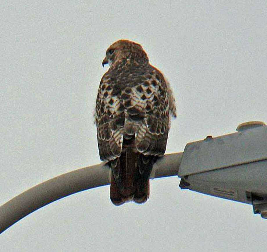"""Middletown people are getting daily calls from drivers on Route 9 who are concerned a red-tailed hawk is injured. Police said the hawk, often seen in the highway's median, is fine. """"""""Hawks are attracted to the hunting grounds we have made along our highways. The low grasses are great for moles, voles, mice, shrews, bunnies, etc. The hawks take advantage of trees and lamp posts near the roadways to watch for prey in the manicured areas below. Roadkill is not off the menu either!"""" Photo: Middletown Policed Photo"""