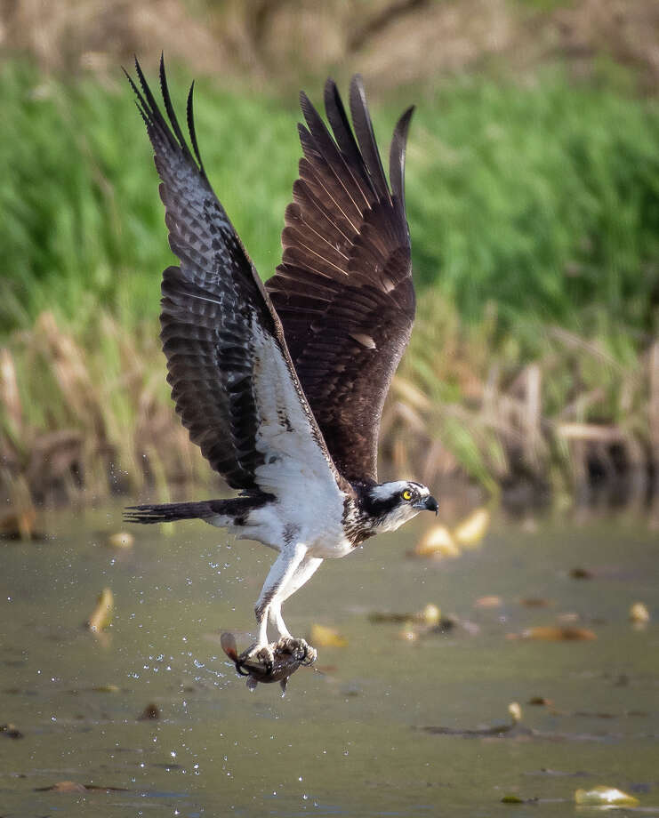 Osprey hunt for fish in the summer of 2018 at Vischer Ferry Nature Preserve in southern Saratoga County. Osprey measure about two feet long, but their wingspan can be as wide as six feet across. After years of decline in New York State, they have made a comeback. Their nesting period in New York begins April 1. (Alex Zhang/Special to the Times Union)