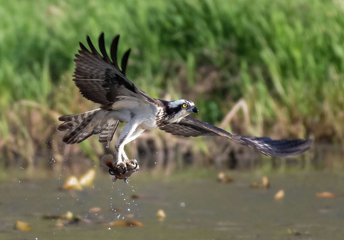 Osprey, which have keen eyesight, use their talons to grab fish out of the water and will sometimes submerge themselves completely underwater in order to grab fish. This image was captured in Clifton Park's Vischer Ferry Nature Preserve. (Alex Zhang/Special to the Times Union)