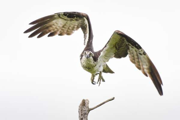 Osprey hunt for fish in the summer of 2018 at Vischer Ferry Nature Preserve in southern Saratoga County. Osprey measure about two feet long, but their wingspan can be as wide as six feet across. After years of decline in New York State, they are making a comeback. Their nesting period in New York begins April 1.