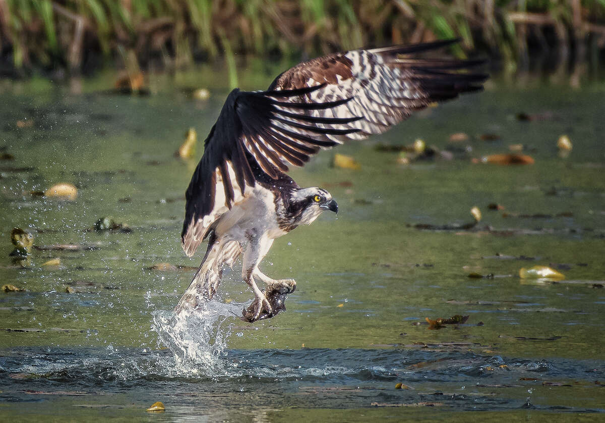 Osprey hunt for fish in the summer of 2018 at Vischer Ferry Nature Preserve in southern Saratoga County. Osprey measure about two feet long, but wingspans can be as wide as six feet. After years of decline in New York State, they are making a comeback. Their nesting period in New York begins April 1. (Alex Zhang/Special to the Times Union)
