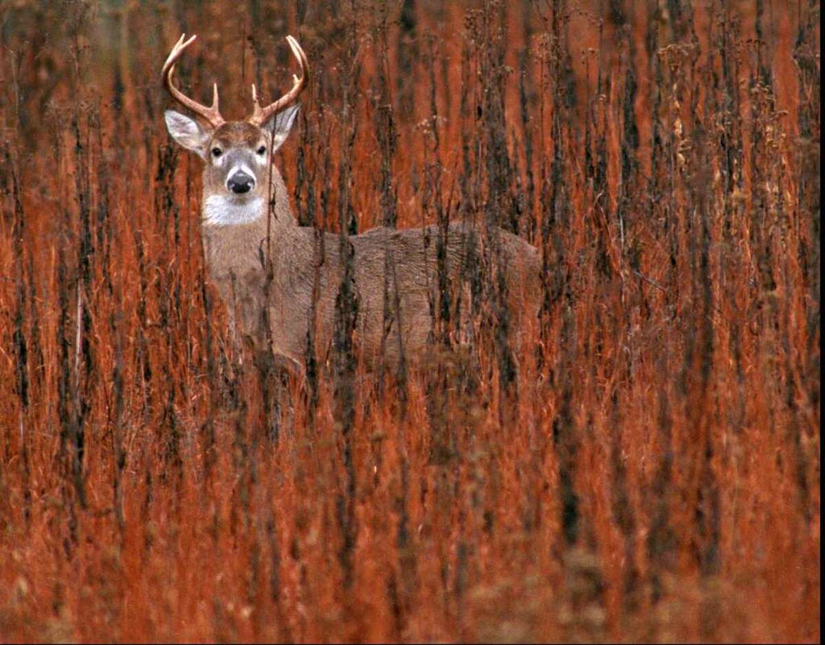 Deer have been found to carry the antibodies for the virus that leads to COVID-19, according to recent studies of several states including New York. Experts say the animals can still be consumed but hunters should use latex gloves when dressing the animals.