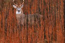 A deer looks at a photographer on Nov. 8, 1997, in Pulaski County, Va. The rifle season for deer hunting began Monday but hunters scouring the woods for a plump whitetail buck might do better looking in their own back yards. Deer populations have skyrocketed in suburbs across the state.