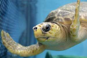 In this Tuesday, March 12, 2019 photo, a loggerhead turtle swims in a tank at a marine animal rehabilitation center near Boston. Warmer waters in New England are proving attractive to sea turtles, but with a catch. Many are swimming north only to be trapped by cooling waters. (AP Photo/Steven Senne)