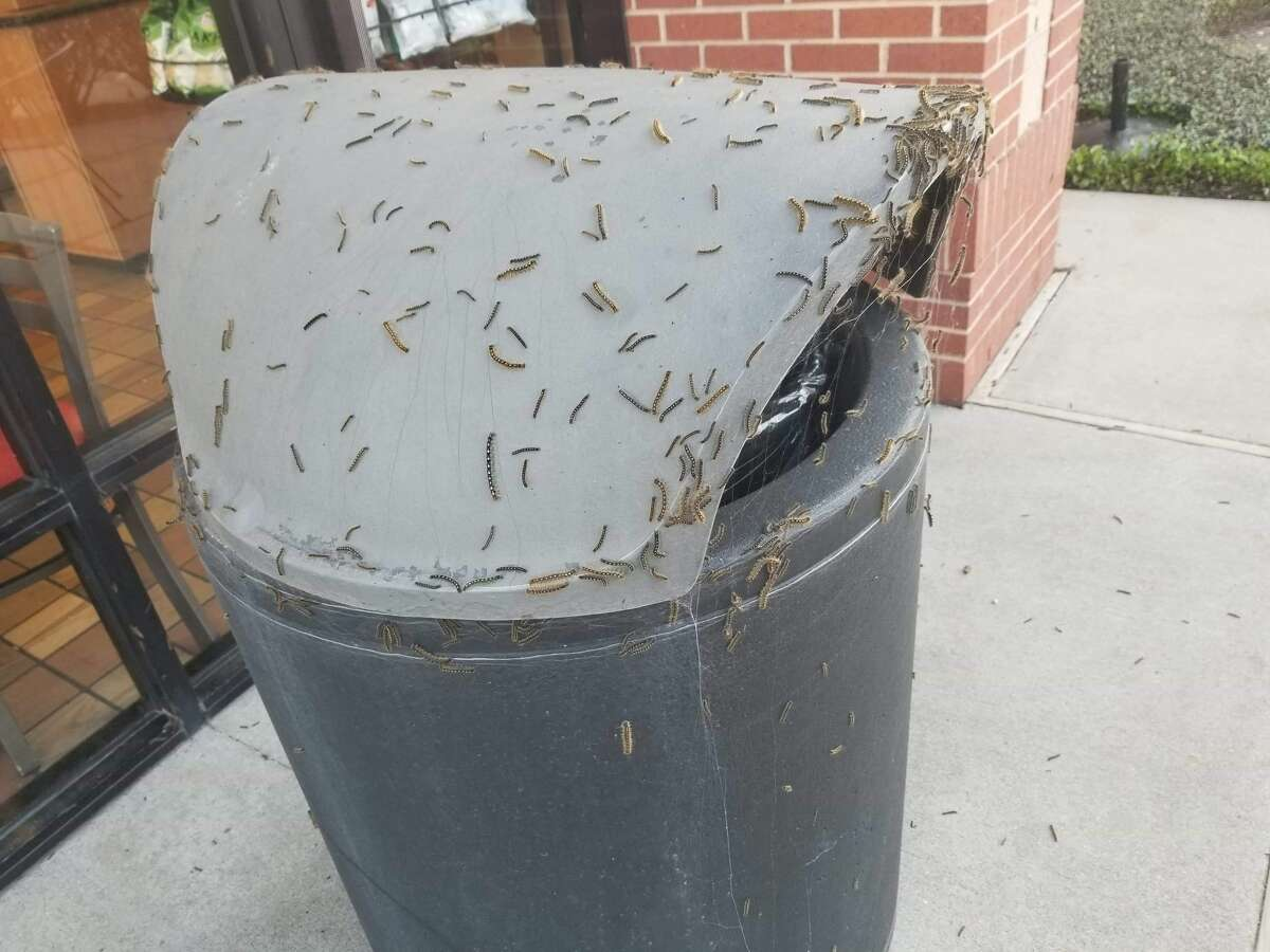 The caterpillars are attracted to over 100 different types of trees, namely pecan and mulberry, that are common in the Houston area. Suburban areas like Sugar Land tend to see the highest populations of the bugs. Courtesy Mikal Shamsi/Pest Police