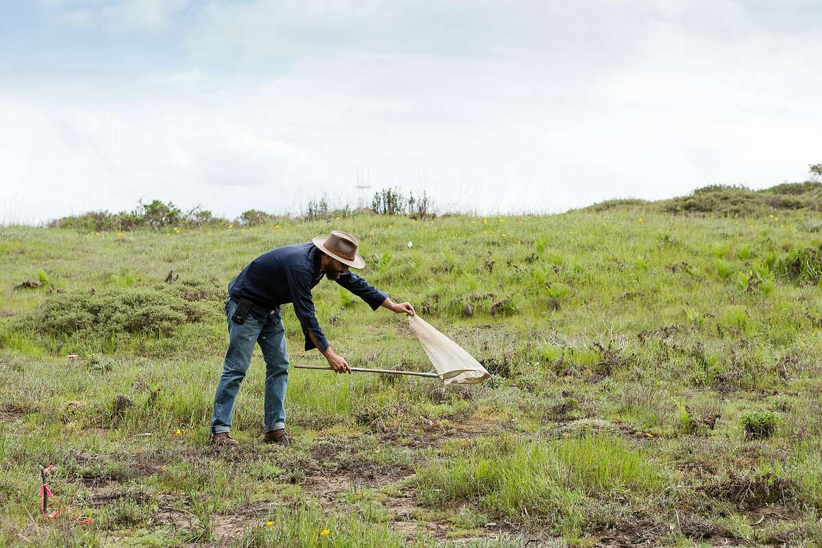Jonathan Young, Wildlife Ecologist for the Presidio Trust, catches a Silver Digger Bee with a net at the restored sand dunes in Presidio, San Francisco, California, on Tuesday, March 26, 2019.