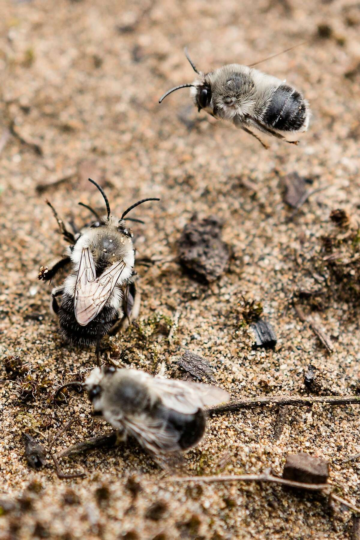 Silver Digger Bees mate at the restored sand dunes in Presidio, San Francisco, California, on Tuesday, March 26, 2019.
