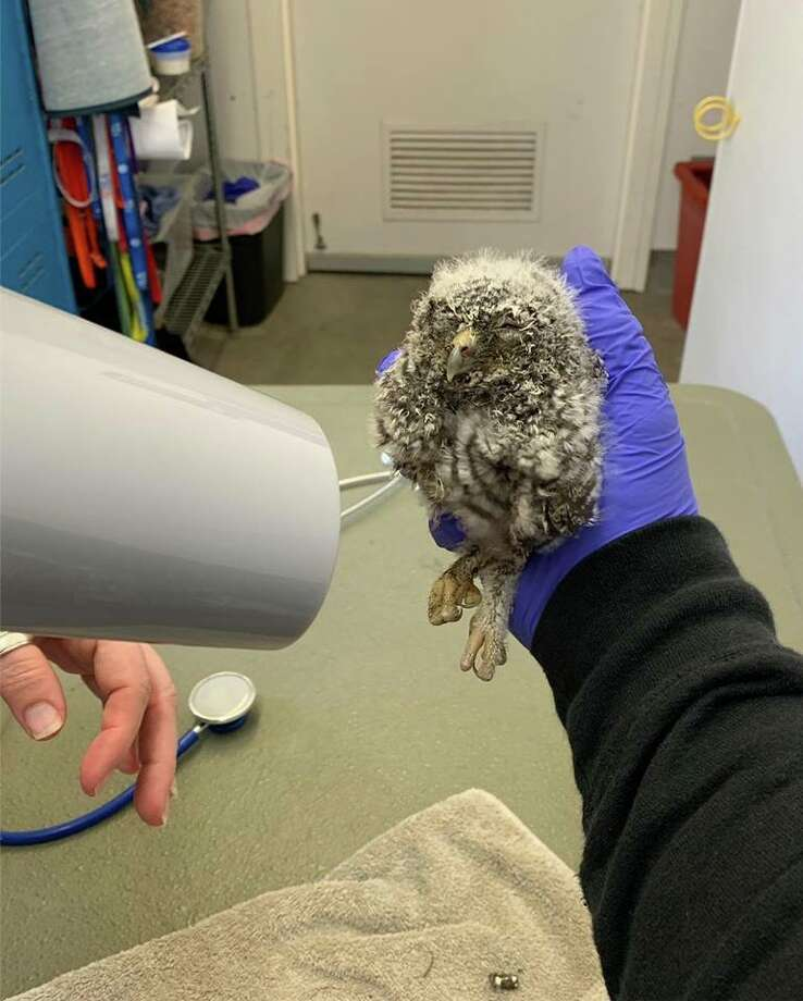A seemingly dead owl was revived with the use of a blow dryer by Animal Control in Palo Alto on Thursday, an officer posted on Facebook. Click through the gallery for more California animal stories. Photo: Palo Alto Animal Control