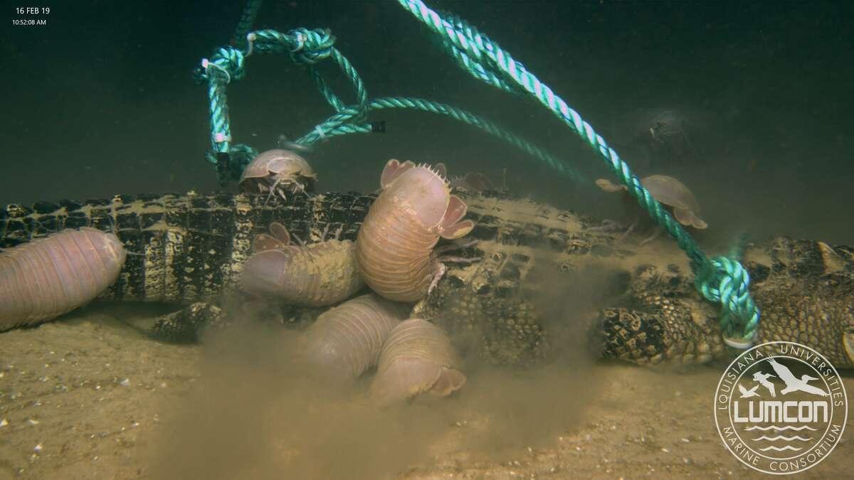 Giant isopods feeding on the alligator.