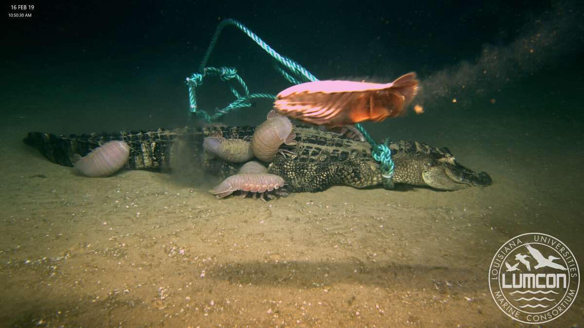 Giant isopod swimming past the alligator.
