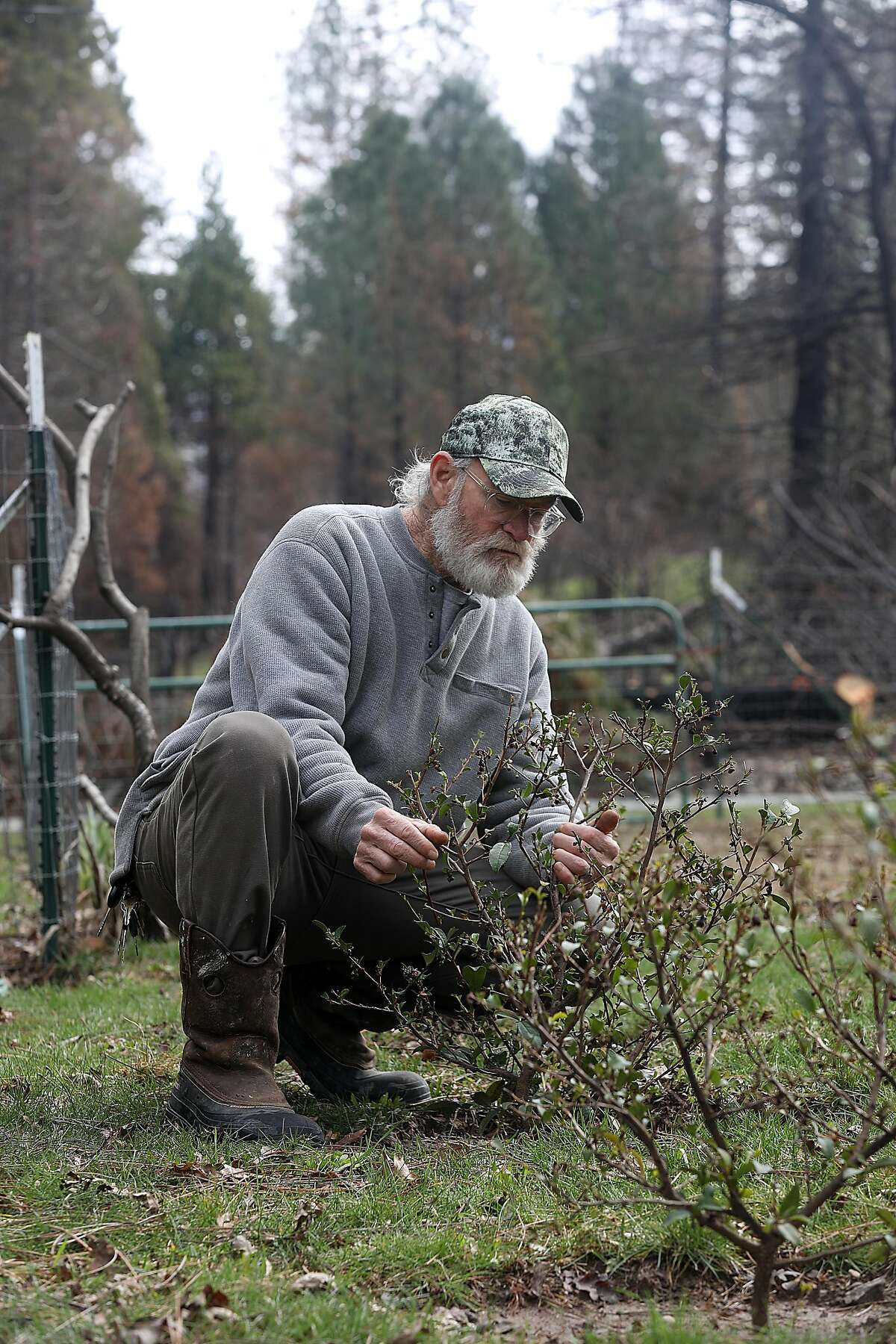 Horticultural tea farmer Mike Fritts takes care of one of his 200 plants existing on his one acre property at Golden Feather Tea Farm on Thursday, Feb. 28, 2019, in Oroville, Calif. There were 800 plants producing, 5-6 pounds a year of tea leaves, with most of it going to Lazy Bear in SF. They recently discovered they have 200 plants yet since the Camp fire and vow to restore it.