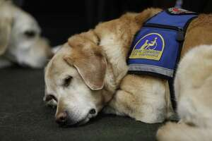 "Smith County District Attorney and Courthouse Facility Dog ""Petra"" takes a brief nap during a roundtable with U.S. Senator John Cornyn, to announce the Dogs as Witness Guardians (DAWG) Act today at the South Texas College of Law, Friday, March 29, 2019, in Houston. Cornyn was joined by certified facility dogs and handlers from various District Attorneys' offices, representatives from victims support groups, and local special court judges as they discussed legislation that would clarify federal judges' authority to allow certified facility dogs in courtrooms during legal proceedings and is based on successful efforts of many states around the nation and guidance from experts in the field."