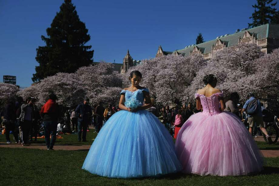 Twin sisters Ingrid and Yeshbet Rivera pose for photos in their quinceanera dresses as thousands of people were out Saturday afternoon admiring the Yoshino cherry blossoms, which reached full bloom this weekend, on the quad at the University of Washington, March 30, 2019. Photo: Genna Martin / seattlepi.com