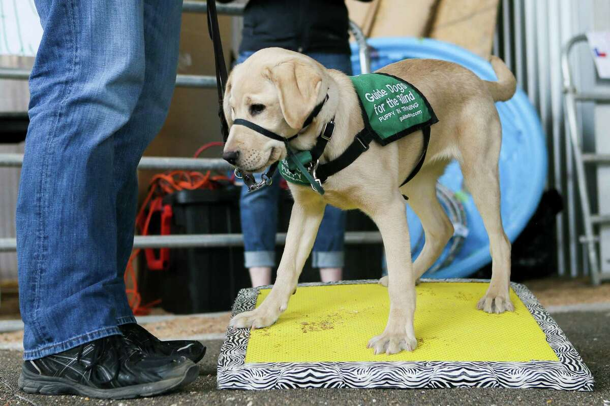 Kimora, a 21-week-old labrador retriever trained by Martin Gilligan of San Antonio, tests his balance on uneven terrain in the Hill Country section of the Guide Dogs for the Blind's Texas-themed obstacle course at Madison High School on Sunday, March 31, 2019.