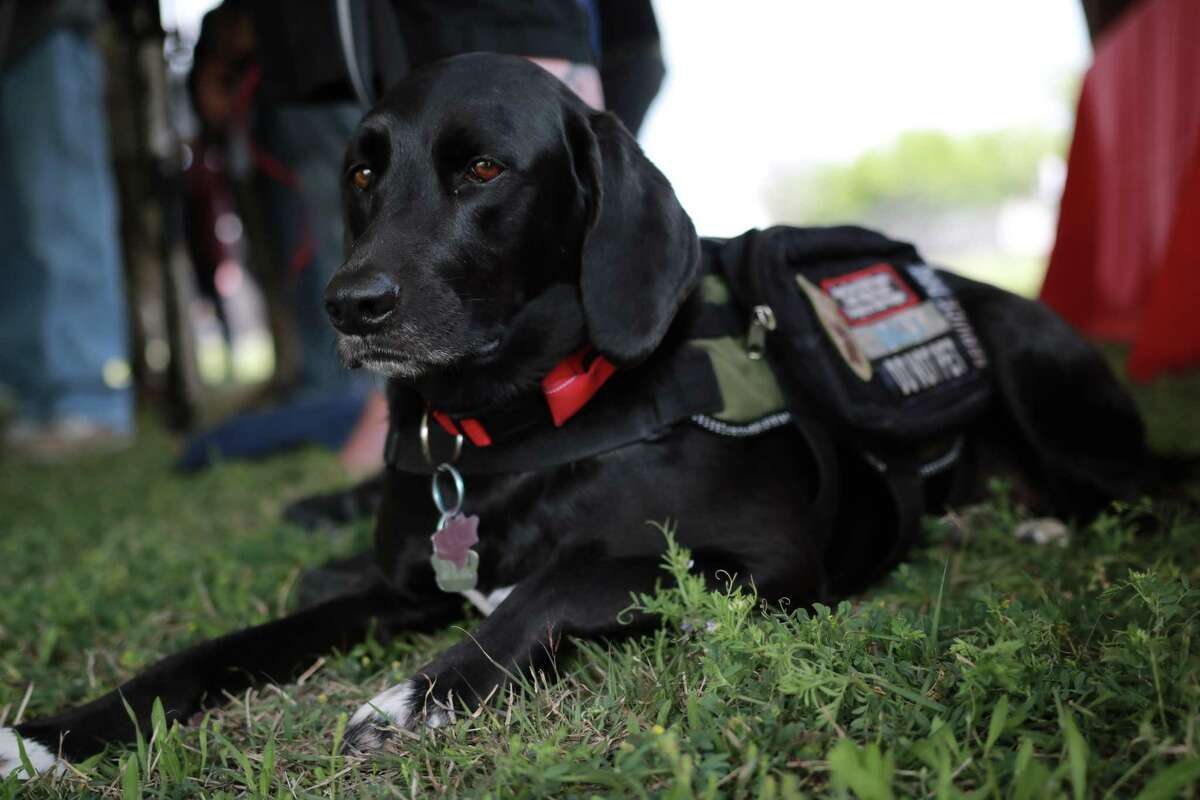 Billy, a service dog assigned to Army veteran David Palomarez, 36, rests at a press conference at the Animal Care Services campus as dignitaries talk about the construction of the Petco Foundation K9s For Warriors Center next to the ACS shelter.