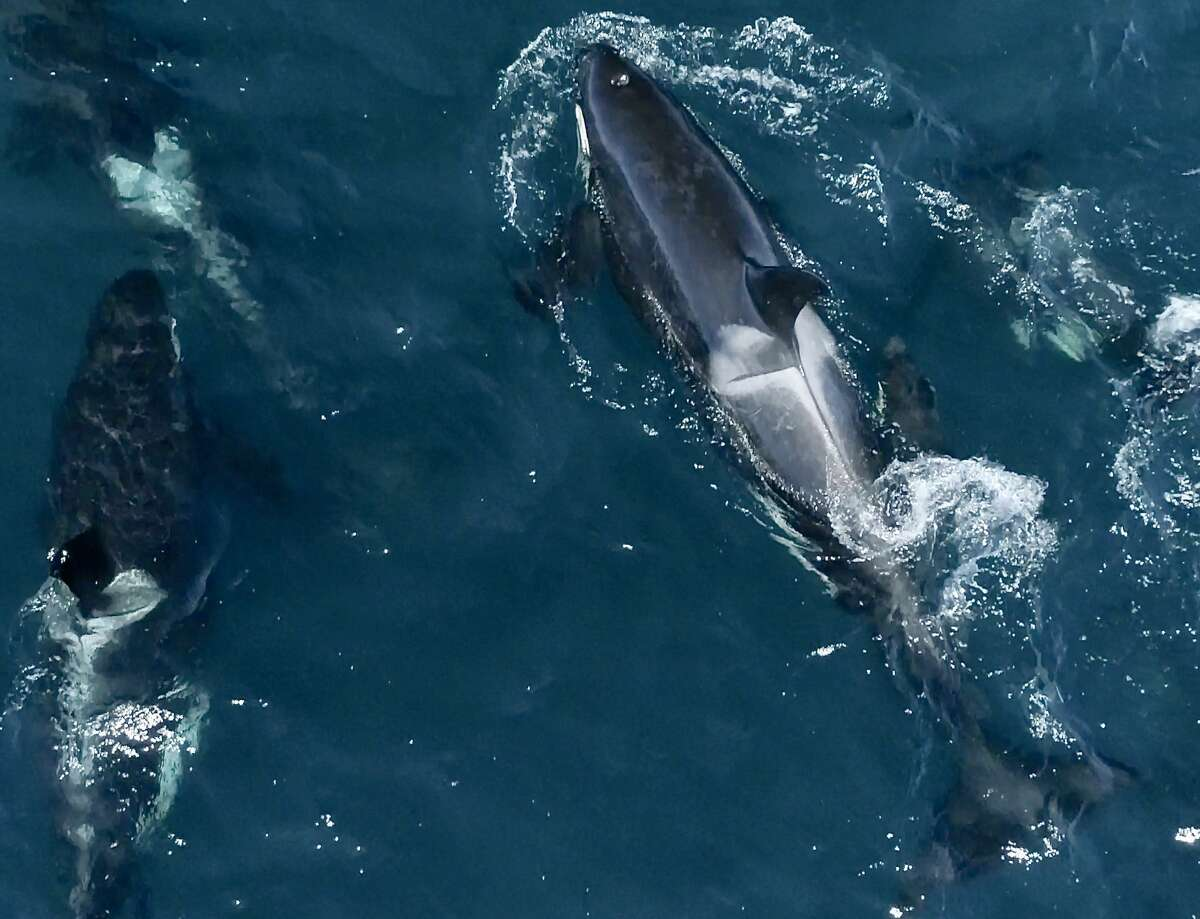 A pod of orcas that normally lives in the Salish Sea or Puget Sound made a surprise appearance in Monterey Bay Sunday.