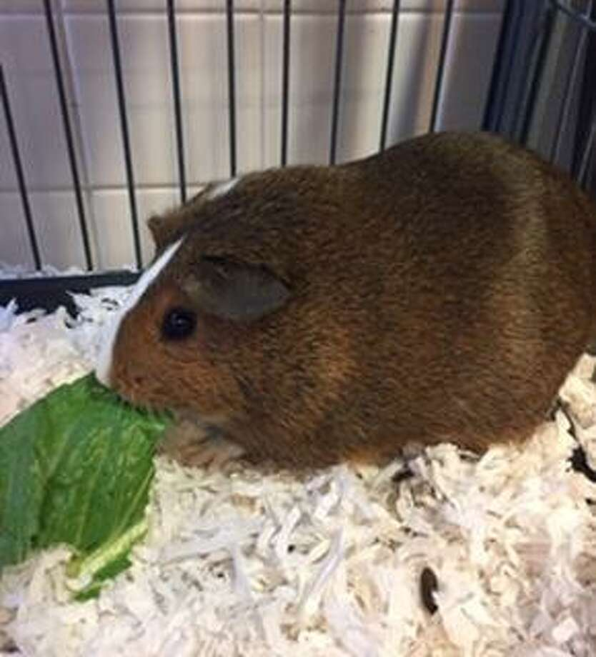 Coco is a little guinea pig who is waiting for a new home. Photo: Contributed Photo