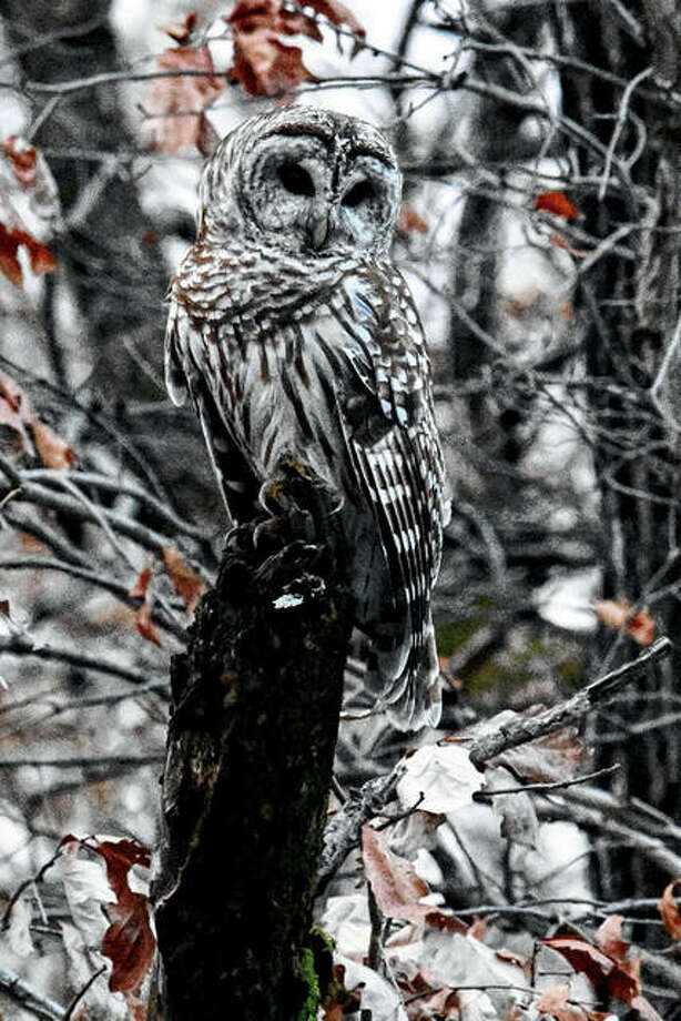 An owl poses for a quick photo while carefully watching its surroundings.