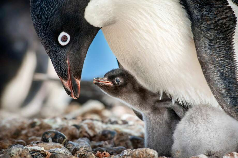 Penguin family bonding in 'Penguins,' the doc from Disneynature.