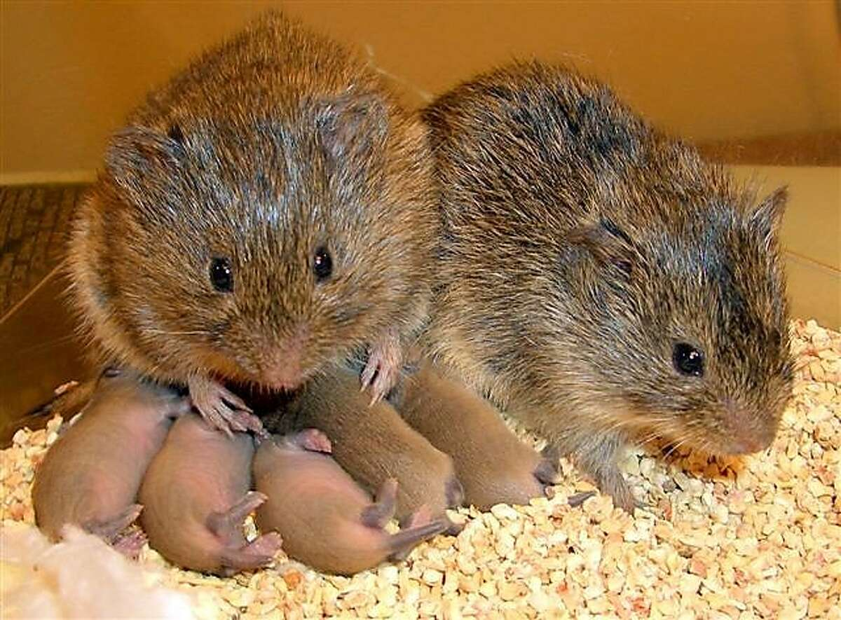 A male and female prairie vole with their babies are pair-bonded for life under the influence of oxytocin, a hormone also important in human sexual relationships like trust and monogamy