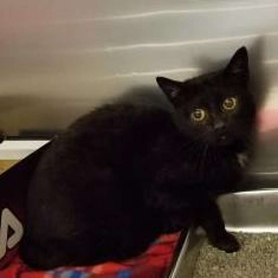 Anna is an 8-year-old female domestic shorthair mix.