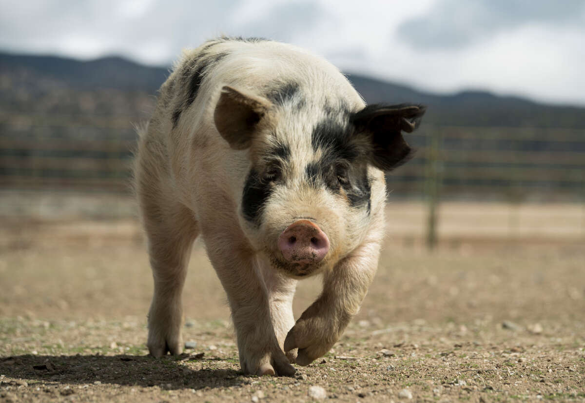 A pet pig that escaped from her home was randomly slaughtered and butchered for meat in Arcata (Humboldt County). Police are investigating it as a crime. Pictured is a stock photo of a pig.