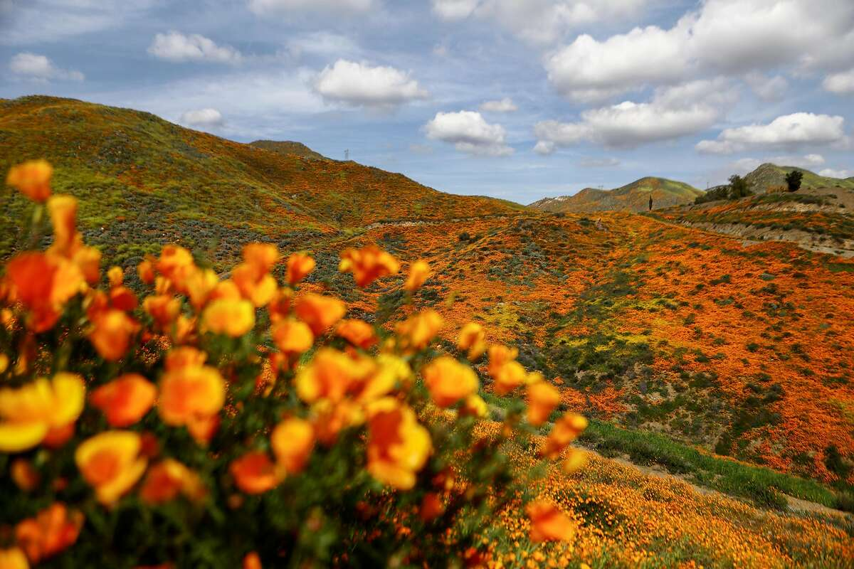 A 'super bloom' of wild poppies blankets the hills of Walker Canyon on March 22, 2019 near Lake Elsinore, California. Heavier than normal winter rains in California have caused a 'super bloom' of wildflowers in various locales of the state. The popular Lake Elsinore bloom is expected to decline in the coming days. (Mario Tama/Getty Images/TNS)