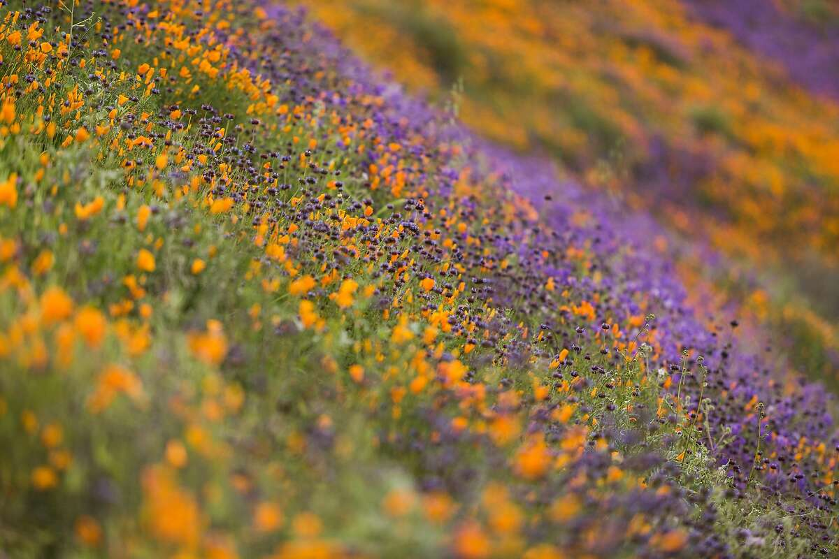 A super bloom in Lake Elsinore, Calif., March 20, 2019. A small town in Southern California has been swarmed by influencers and tourists seeking a rare, poppy-filled photo opportunity. (Emily Berl/The New York Times)