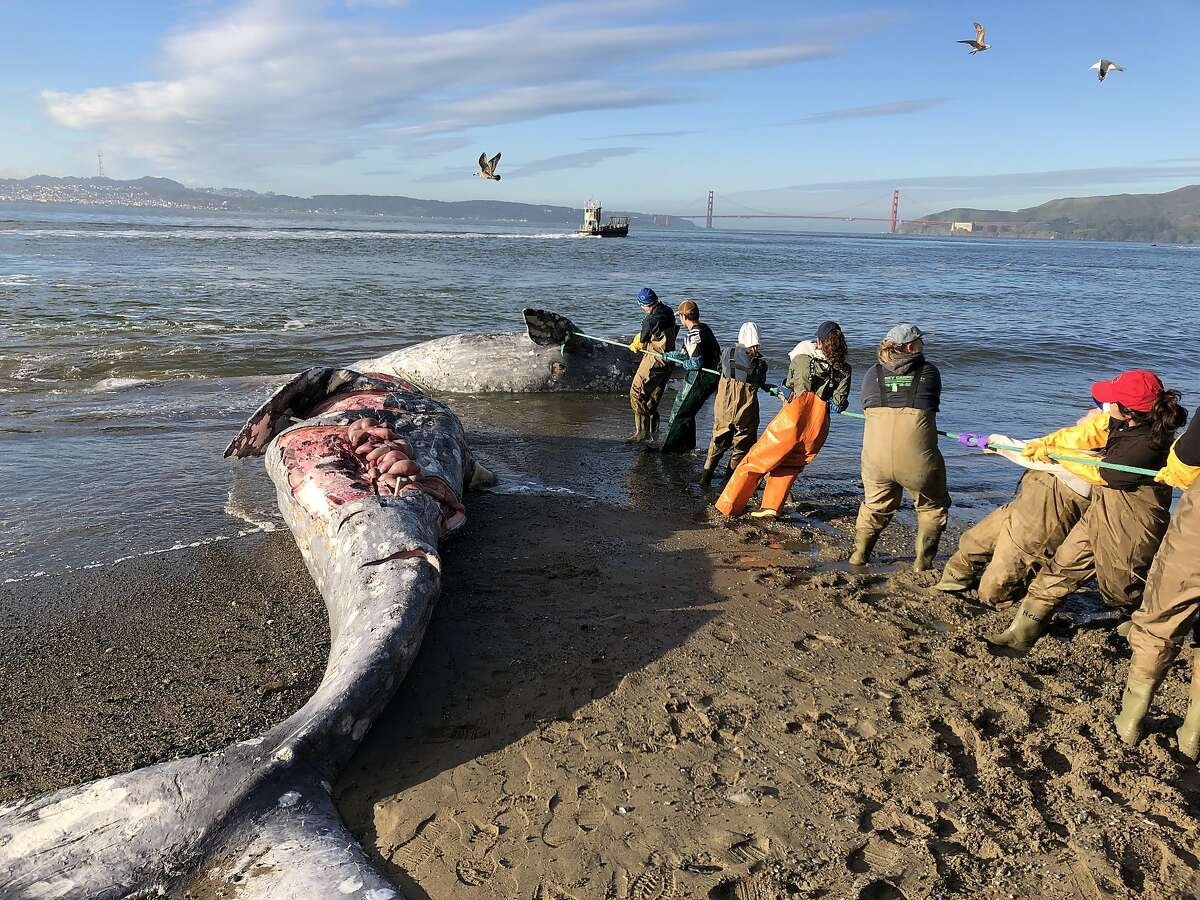 Experts from The Marine Mammal Center and its partners at California Academy of Sciences attempt to pull a gray whale carcass from the edge of the surf line at Angel Island State Park on Tuesday, March 12, 2019. While �undetermined� is the most common cause of death of cetaceans reported by the Center�s research team, blunt force trauma from ship strikes, malnutrition, trauma and entanglements are other leading causes.