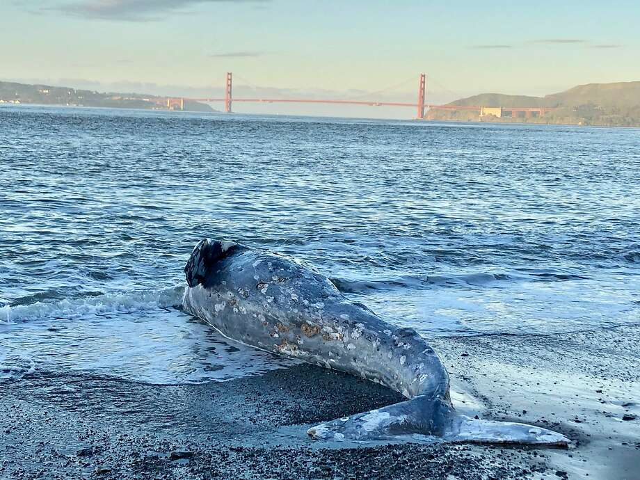 FILE PHOTO -- Experts from The Marine Mammal Center and its partners at California Academy of Sciences confirm a one-year-old gray whale died of severe malnutrition after performing two separate necropsies at Angel Island State Park  on Tuesday, March 12, 2019. Photo: Clara Field / Courtesy The Marine Mammal Center