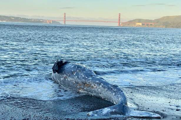 Experts from The Marine Mammal Center and its partners at California Academy of Sciences confirm a one-year-old gray whale died of severe malnutrition after performing two separate necropsies at Angel Island State Park on Tuesday, March 12, 2019.