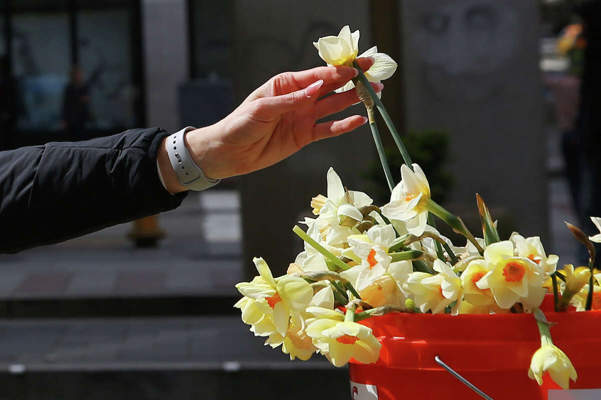Volunteers handed out daffodils to passersby near Pike Place Market, Wednesday, April 3, 2019. The annual Daffodil Day usually happens on the first day of spring but this year took place a few days later to give the flowers a few more days to bloom. (Genna Martin, Seattlepi.com)