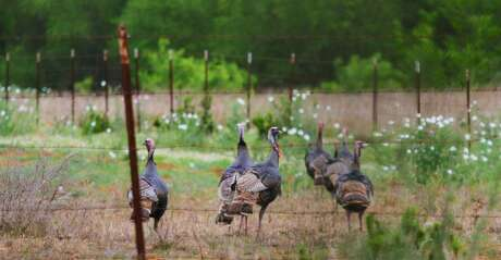 A group of adult Rio Grande wild turkey gobblers moves down a South Texas sendero. Such congregation of longbearded gobblers is rare during the turkeys' spring mating season when most males claim and defend territories or harems of hens and will not tolerate other gobblers.