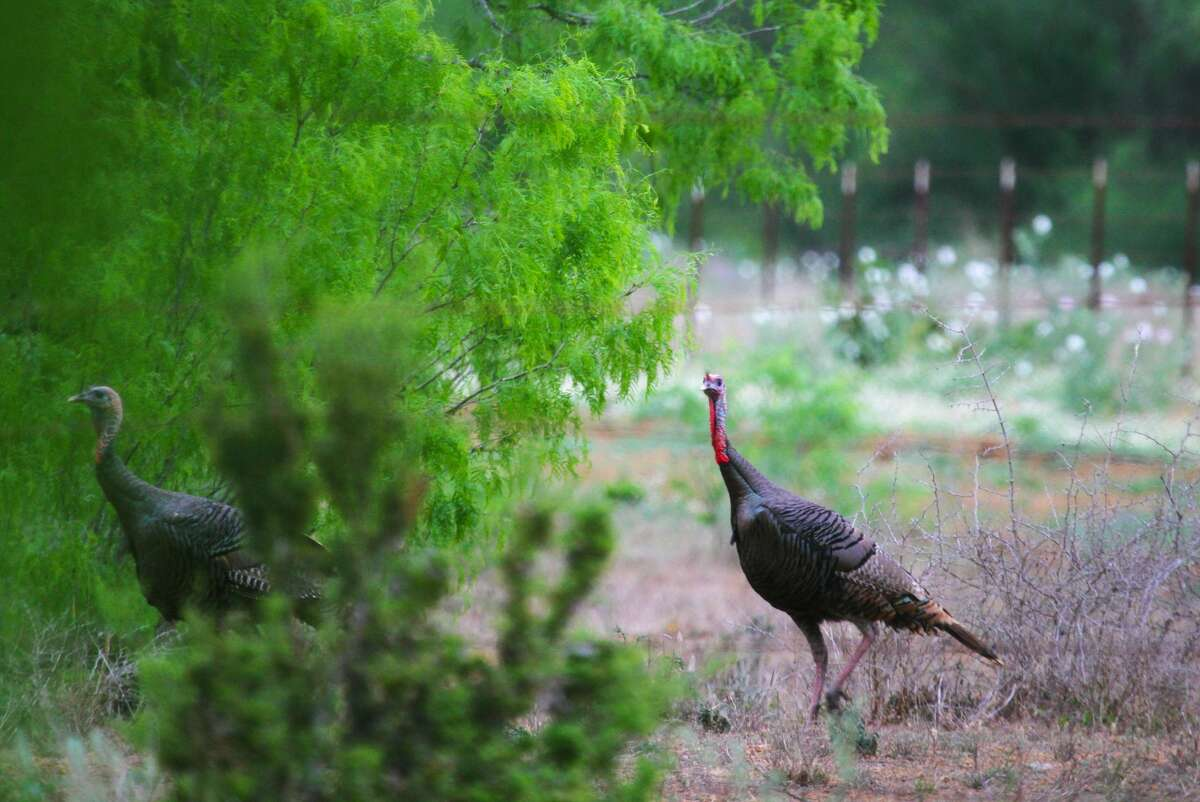 """A pair of year-old gobblers, easily identifiable by their stubby beards, move though South Texas brush. These """"jakes"""" often travel in groups and often act just like the juveniles they are."""