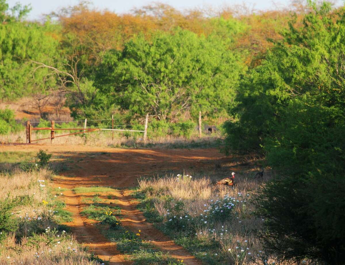 A Rio Grande turkey gobbler, illuminated by late-afternoon spring sunlight, trails a hen into South Texas brush. As more turkey hens begin nesting this month, spring season hunters across Texas likely will see improved chances of successfully calling in one of the increasing number of unattached gobblers.