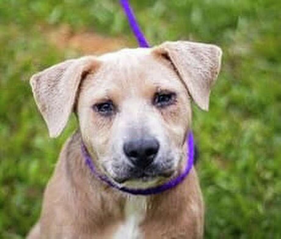 Meet Sampson 529532: Today is this animal's  very last chance to find placement outside of the shelter. TO ENSURE SAFETY this animal must have an adoption hold or  shelter foster by 5:30pm or a rescue group to tag for their program by  5:50 pm TODAY.  Photo: Harris County Amimal Shelter