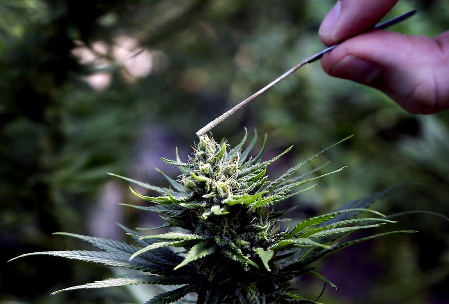 FILE - In this April 24, 2018 file photo, a hemp plant is pollinated. Photo: Don Ryan, Associated Press