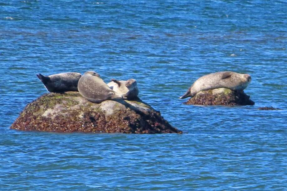 """Four harbor seals relax on rocks in Long Island Sound exposed at low tide. The Maritime Aquarium at Norwalk's """"Seal-Spotting & Birding Cruises"""" seek out some of the seals and waterfowl that migrate into the Sound each winter. The 2018-19 season concludes with cruises on April 13 and 14. Photo: Maritime Aquarium At Norwalk / Contributed Photo"""