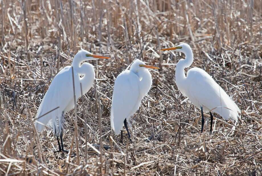 A sure sign of spring is the annual migration of water birds. Some pass through the area on their way north. Others, like these Great Egrets spotted at Fish Point Wildlife Area, near Unionville, recently, stay in the Thumb area during the warmer months. Photo: Bill Diller/For The Tribune