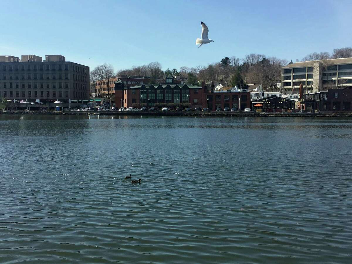 A seagull in flight by the Saugatuck River Bridge in Westport on April 4, 2019.