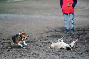 Dogs play with each other inside the Stamford Dog Park.