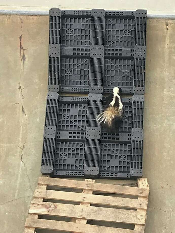 A skunk was rescued from a skatepark in Sebastopol on Thursday, police said. Photo: Sebastopol Police Services