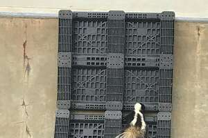 A skunk was rescued from a skatepark in Sebastopol on Thursday, police said.