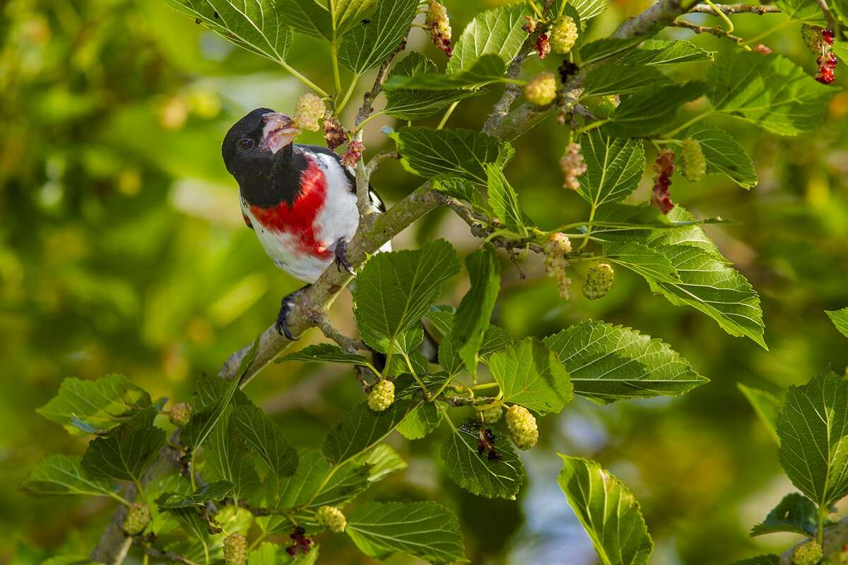 Rose-breasted grosbeak will likely show up in your yard this April. Look for them in backyards, gardens, parks, woodlands, and bird sanctuaries.