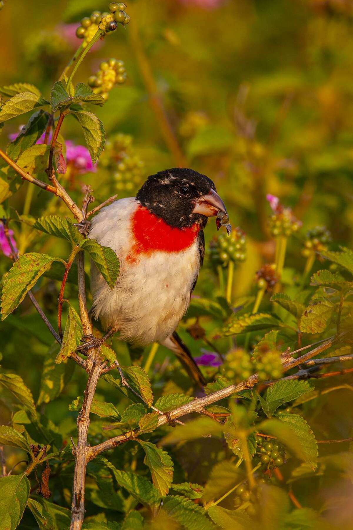 Rose-breasted grosbeak will likely show up in your yard this April. Look for them in backyards, gardens, parks, woodlands, and bird sanctuaries. Photo Credit: Kathy Adams Clark. Restricted use.